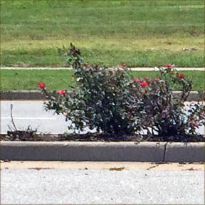 bad-pruning-knockout-roses
